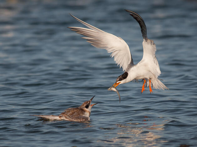 Forster's Tern feeding a fish to its chick. Ben Knoot/Audubon Photography Awards