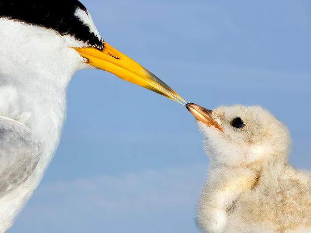 Least Terns. Least Terns. Jim Verhagen/Audubon Photography Awards