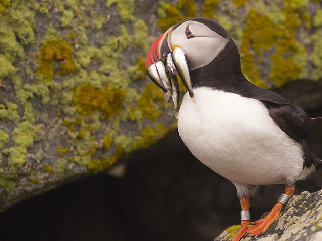 Atlantic Puffin. Project Puffin/Sandy Flint