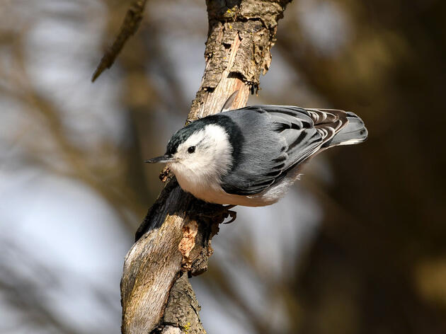 White-breasted Nuthatch. Jocelyn Anderson/Great Backyard Bird Count
