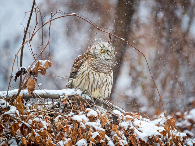 10 Fun Facts About the Barred Owl