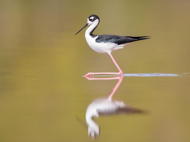 Black-necked Stilt. Teresa Hedden/Audubon Photography Awards