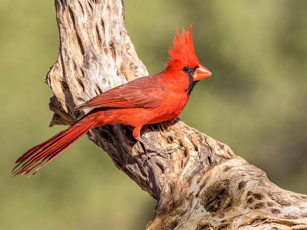 Northern Cardinal. Douglas Chewning/Audubon Photography Awards