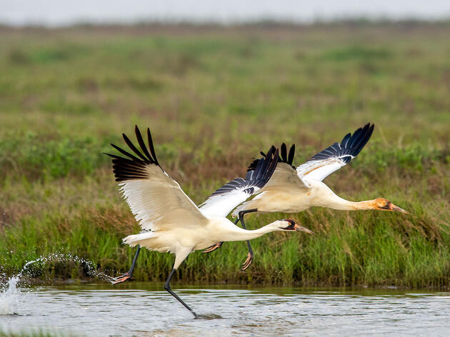 Whooping Cranes. Elaine Brackin/Audubon Photography Awards