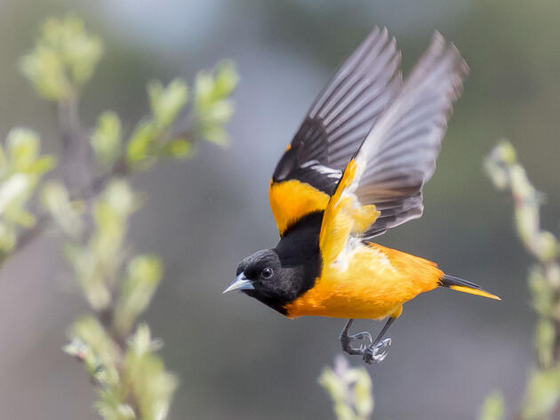 10 Fun Facts About the Baltimore Oriole
