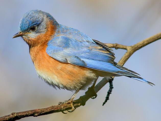Eastern Bluebird. Lewis Barnett/Audubon Photography Awards