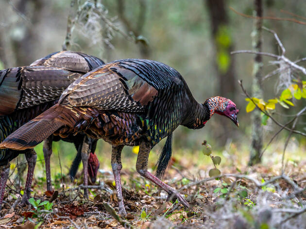 Pandemic-fueled Surge in Wild Turkey Hunting Tests Declining Populations