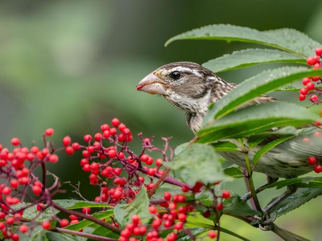 Rose-breasted Grosbeak on Red Elderberry. Shirley Donald/Audubon Photography Awards