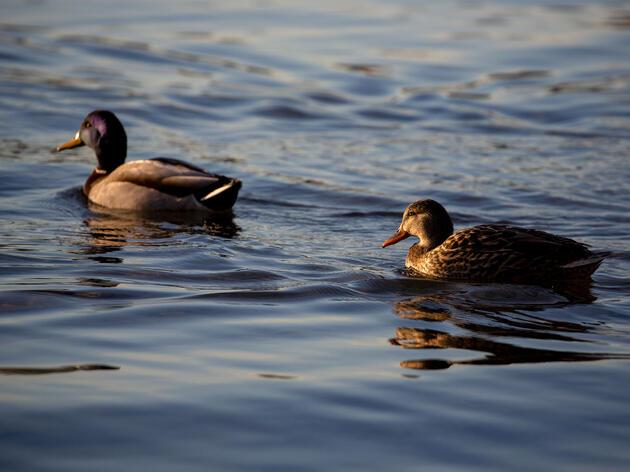 Mallards. Luke Franke/Audubon