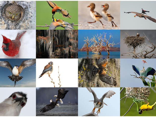 2011 Bird Madness Winner: Red-shouldered Hawk