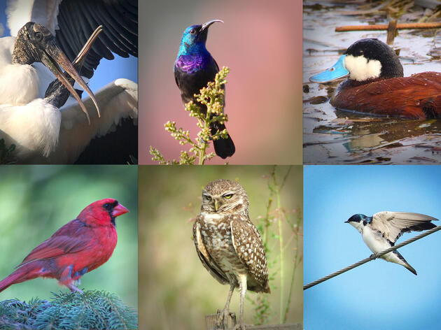 Birds photographed with an iPhone and scope: (clockwise from left) Wood Storks, Palestine Sunbird, Ruddy Duck, Tree Swallow, Burrowing Owl, Northern Cardinal. Sharon Stiteler