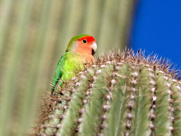Feral Rosy-faced Lovebirds nest in native cacti in Phoenix, Arizona. Since they're not native, they aren't adapted to extract water from cactus fruits—so instead they use air conditioning to stay cool, according to new research. Andreas Geh/Alamy
