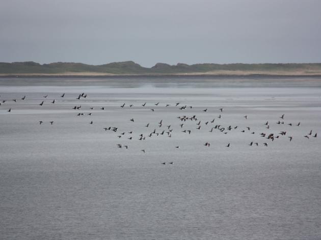 Brant flock over Izembek National Wildlife Refuge Beth Peluso