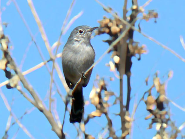Endangered Species Act protections should be upheld for California Gnatcatcher