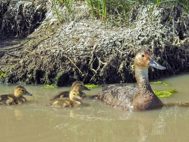 Canvasback with chicks at Carson Lake and Pasture. Max Malmquist/Audubon