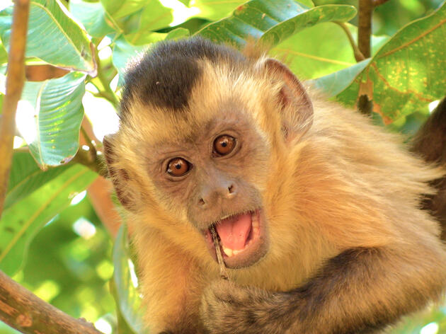 Capuchin Flirt by Throwing Stones (With Video)