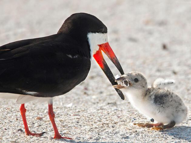 Black Skimmer feeding its chick a cigarette butt. Karen Mason