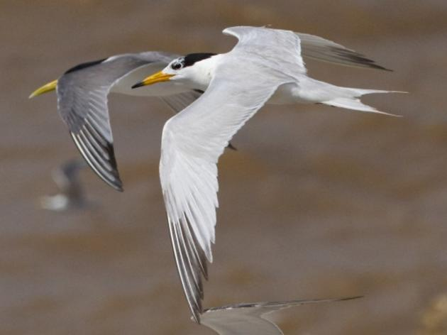 Chinese Crested Tern Copyright Dan Roby