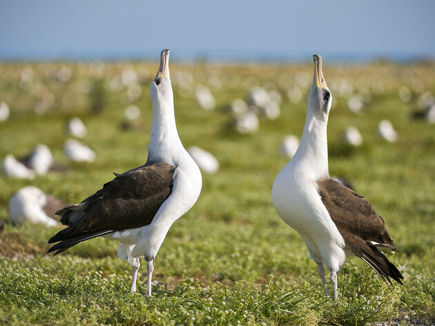 Laysan Albatross courting pair on Midway Atoll. Enrique R. Aguirre/Alamy