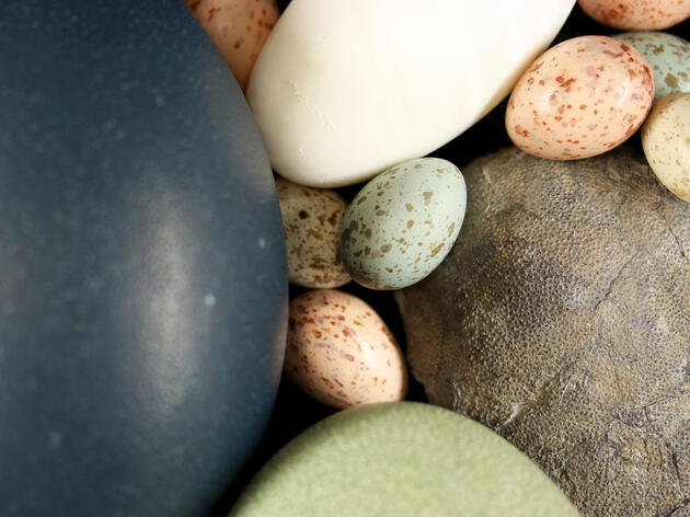 Paleognath and neognath bird eggs, and a fossil theropod egg (right). Jasmina Wiemann/Yale University
