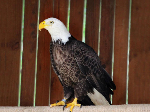 Charlie, pictured here, is the 500th Bald Eagle to be rehabilitated and released. courtesy of Audubon Center for Birds of Prey