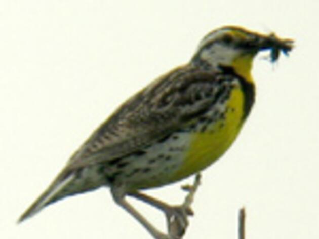 Eastern Meadowlark Laura Erickson