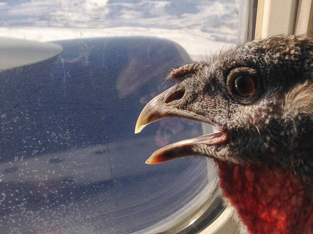 Easter, a Wild Turkey and emotional support animal. Jodie Smalley