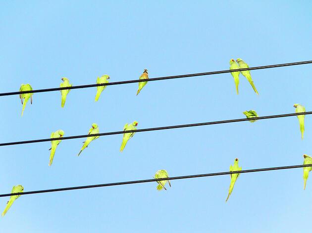 Tokyo's Got a Parrot Problem