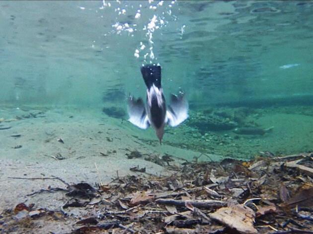 A Dipper Dives