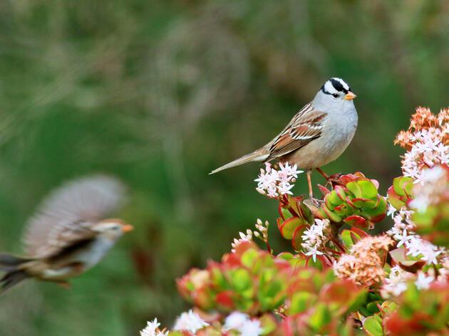 White-crowned Sparrows. White-crowned Sparrows Terry Rodgers/Audubon Photography Awards