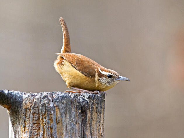 Carolina Wren. Carolina Wren Gary Mueller/Audubon Photography Awards