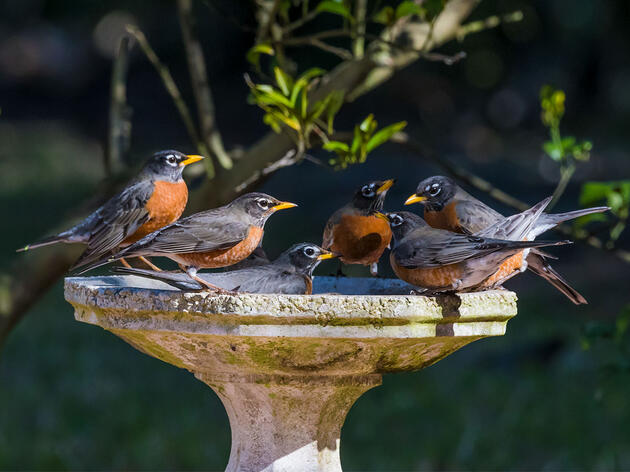 10 Fun Facts About the American Robin