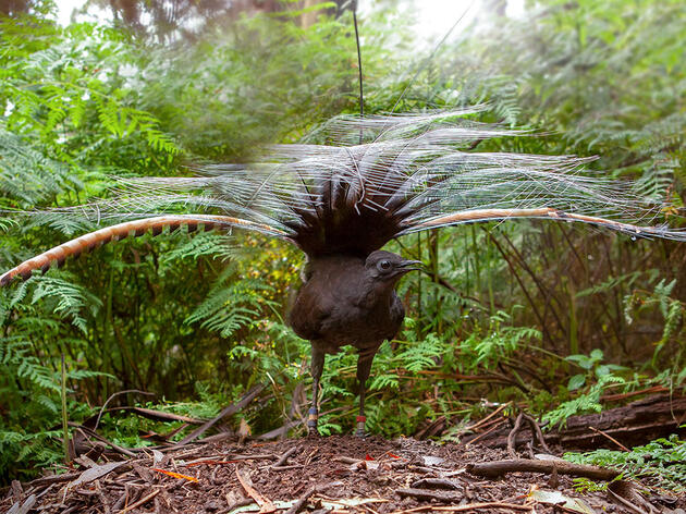 Another Reason to Love Lyrebirds: They Move Tons of Dirt, Keeping Forests Healthy