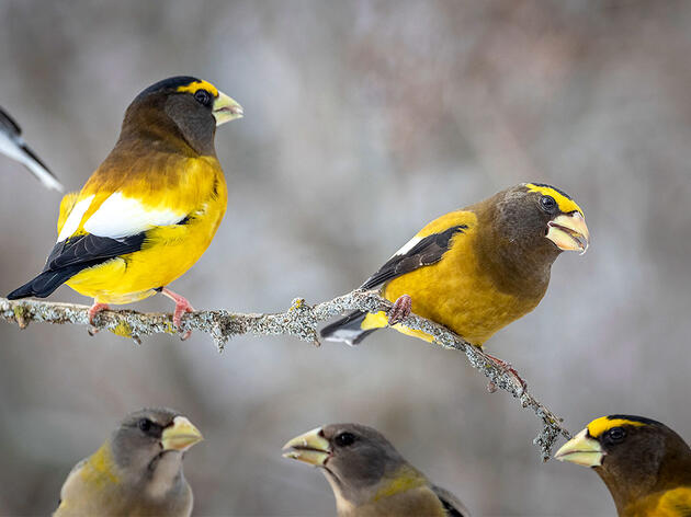 This Winter Marks an Incredible 'Superflight' of Hungry Winter Finches