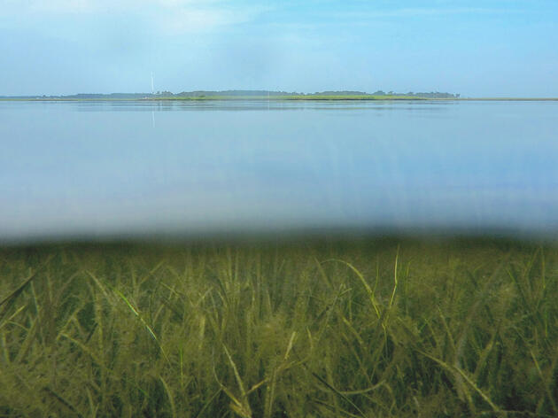 A Massive Seagrass Project Is Restoring a Lost Food Web for Wintering Geese