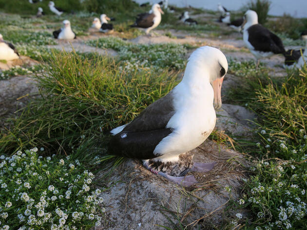 Wisdom, the Laysan Albatross, seen here in 2018. Pete Leary/U.S. Fish and Wildlife Service