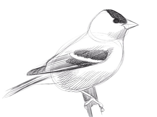Learn to Draw Birds with David Sibley