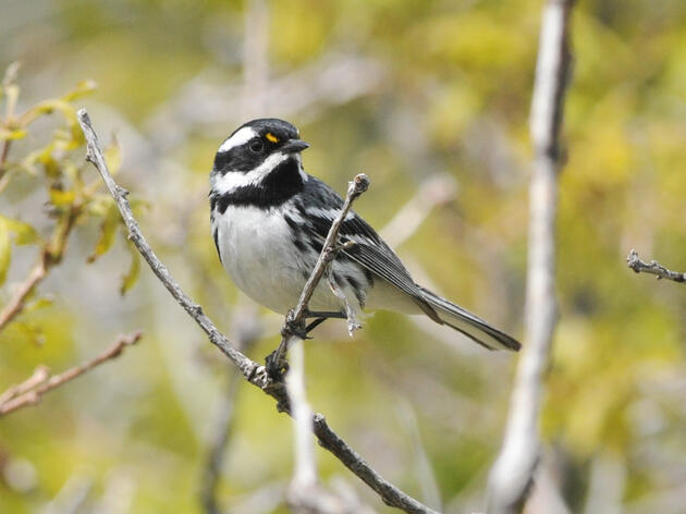Audubon Scientists Reveal Migration Bottlenecks Used by Tens of Millions of Birds