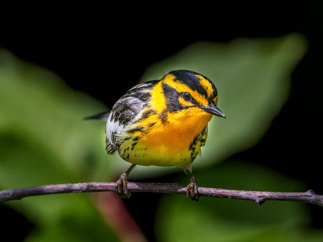 Blackburnian Warbler. Shirley Donald/Audubon Photography Awards