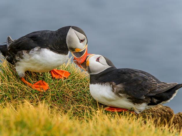 Atlantic Puffins. Ly Dang/Audubon Photography Awards