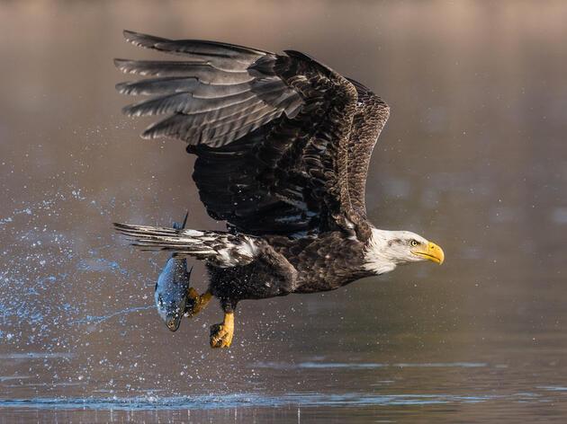 Bald Eagle. Mark Boyd/Audubon Photography Awards
