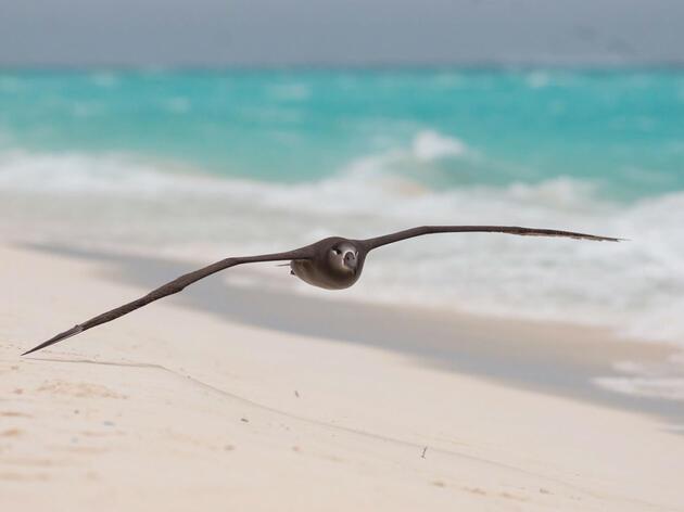 Black-footed Albatross. Kat Paleckova/Audubon Photography Awards