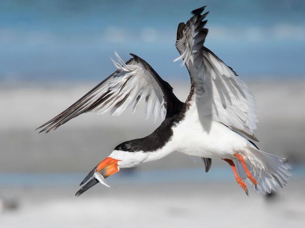 Black Skimmer. Melissa James/Audubon Photography Awards