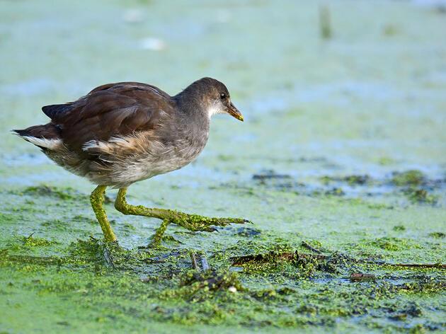 Common Gallinule. Lynn Cleveland/Audubon Photography Awards