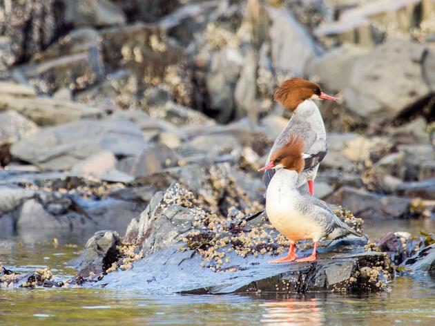 Common Merganser. Andrea Jaszlics/Audubon Photography Awards