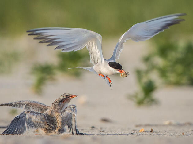 Common Tern with chicks. Dere Scott/Audubon Photography Awards