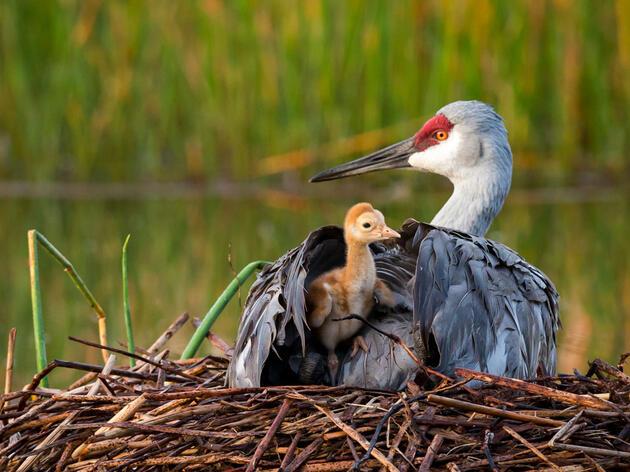 Sandhill Crane and young. Mary Lundeberg/Audubon Photography Awards