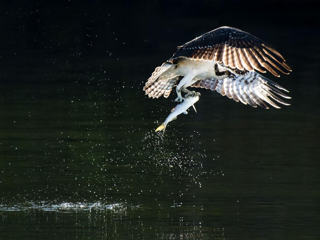 Osprey with a Menhaden in its' grasp. Abeselom Zerit/Audubon Photography Awards