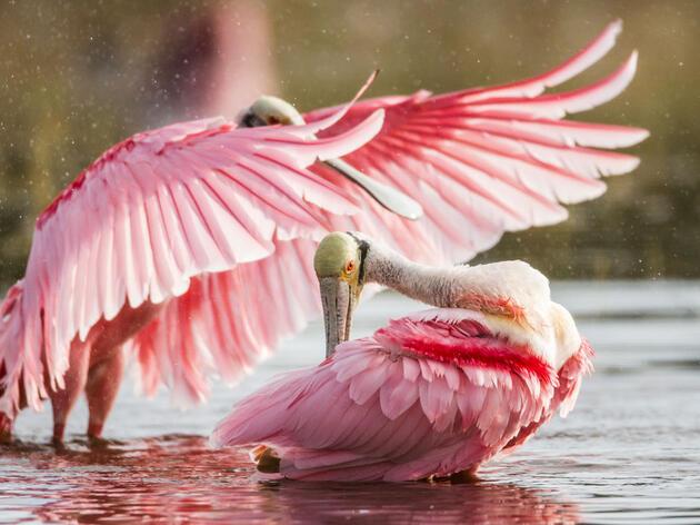 Roseate Spoonbills. Joshua Pelta-Heller/Audubon Photography Awards