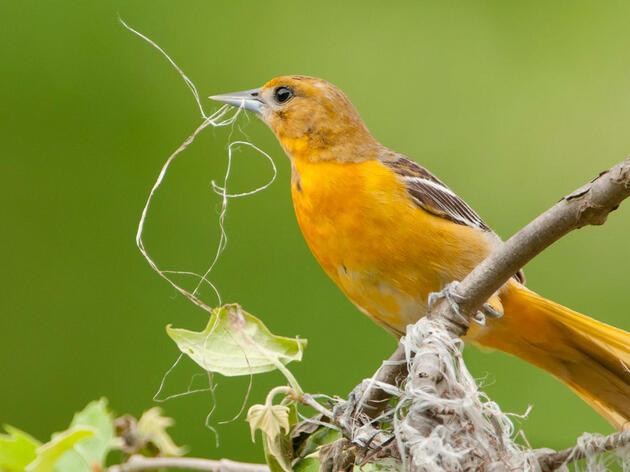 Baltimore Oriole. Mark Boyd/Audubon Photography Awards